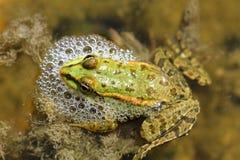 一只逗人喜爱的青蛙在湖 免版税库存照片