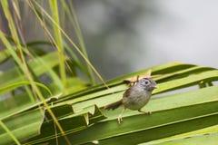 一只逗人喜爱的鸟-山Fulvetta 免版税库存图片