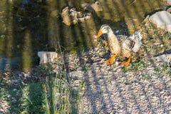 一只逗人喜爱的鸭子走在干燥运河 免版税图库摄影