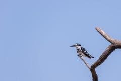 一只逗人喜爱的黑白翠鸟的特写镜头 库存图片