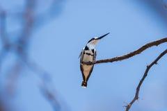 一只逗人喜爱的黑白翠鸟的特写镜头 免版税库存图片