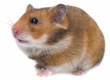 一只逗人喜爱的仓鼠 库存图片