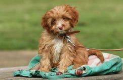 一只逗人喜爱的Cavapoo小狗 免版税库存图片