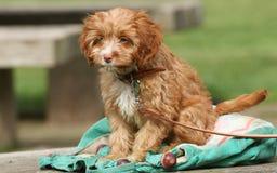一只逗人喜爱的Cavapoo小狗 图库摄影