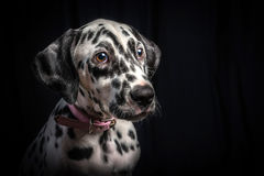 一只逗人喜爱的dalmation小狗 库存图片