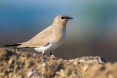 一只逗人喜爱的Pranticole鸟有好的蓝色背景 图库摄影