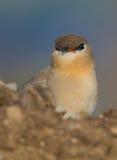 一只逗人喜爱的Pranticole鸟 库存图片