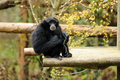 一只逗人喜爱的siamang长臂猿 免版税库存照片