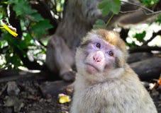 一只逗人喜爱,但是哀伤的猴子的画象 图库摄影