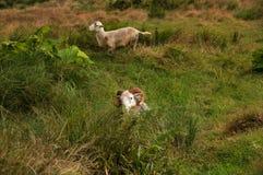 一只通过绵羊掩藏在绿草的和的别的在一个茂盛的牧场设置 免版税库存照片