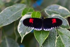 一只邮差蝴蝶的特写镜头在叶子的有露滴的 库存照片