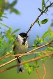 一只里德旗布鸟的特写镜头在春天嵌套期间 免版税库存照片