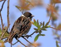 一只里德旗布鸟的特写镜头在春天嵌套期间 免版税库存图片