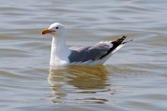 一只里海鸥海鸥决定海 图库摄影