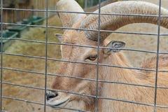 一只野山羊在动物园里 库存图片