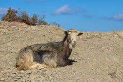 一只野山羊在希腊。 免版税库存照片