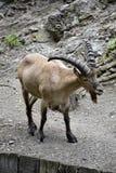 一只野山羊的画象 免版税库存图片