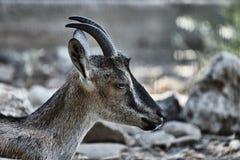 一只野山羊Kri-Kri的头 免版税库存照片