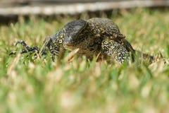 一只野生尼罗监控蜥蜴在冈比亚,非洲 图库摄影