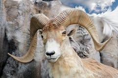 一只野生山大角野绵羊的被充塞的头 免版税库存照片