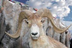 一只野生山大角野绵羊的被充塞的头 图库摄影