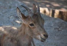 一只野生山褐色山羊的画象 免版税库存照片