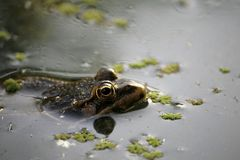 一只野生池蛙的特写镜头在池塘的水2 免版税图库摄影