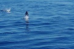 一只野生海豚 免版税图库摄影
