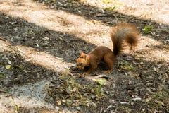 一只野生灰鼠在森林吃一枚坚果 免版税库存图片