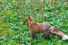 一只野生狐狸在城市` s春天公园走 免版税库存照片