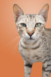 一只野生猫 库存图片