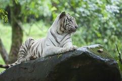 一只野生白色老虎的美丽的被隔绝的照片在森林里 免版税库存图片