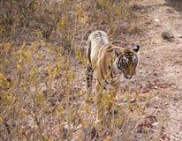 从一只野生老虎的特写镜头 免版税库存图片