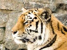 一只野生老虎的头 免版税图库摄影