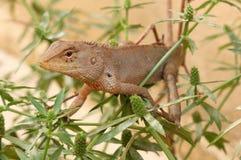 一只野生蜥蜴在泰国 免版税库存图片