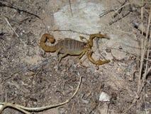 一只野生蝎子 免版税库存图片