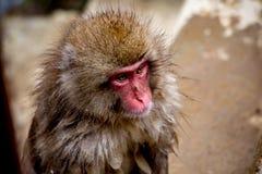 一只野生雪猴子的画象 免版税库存照片