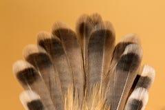 一只野生鸟的美丽的棕色羽毛 图库摄影