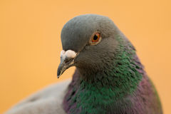 一只野生鸠的画象与美丽的羽毛的 免版税库存照片