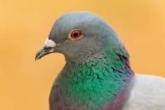 一只野生鸠的画象与美丽的羽毛的 免版税图库摄影