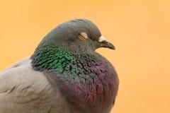 一只野生鸠的画象与美丽的羽毛的 库存图片