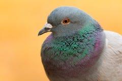 一只野生鸠的画象与美丽的羽毛的 免版税库存图片