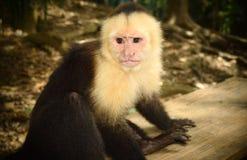 一只野生猴子!!! 库存图片