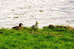一只野鸭和海鸥 图库摄影