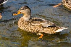 一只野鸭在池塘游泳 库存照片