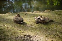 一只野鸭在池塘的岸睡觉 免版税图库摄影
