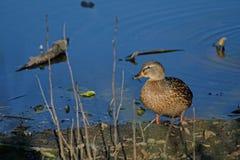 一只野鸭在河岸站立 免版税库存图片