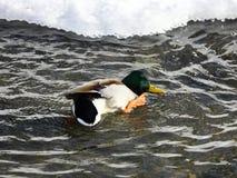 一只野鸭在河游泳 免版税库存图片