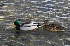一只野鸭在河游泳 库存图片