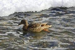 一只野鸭在河游泳 免版税图库摄影
